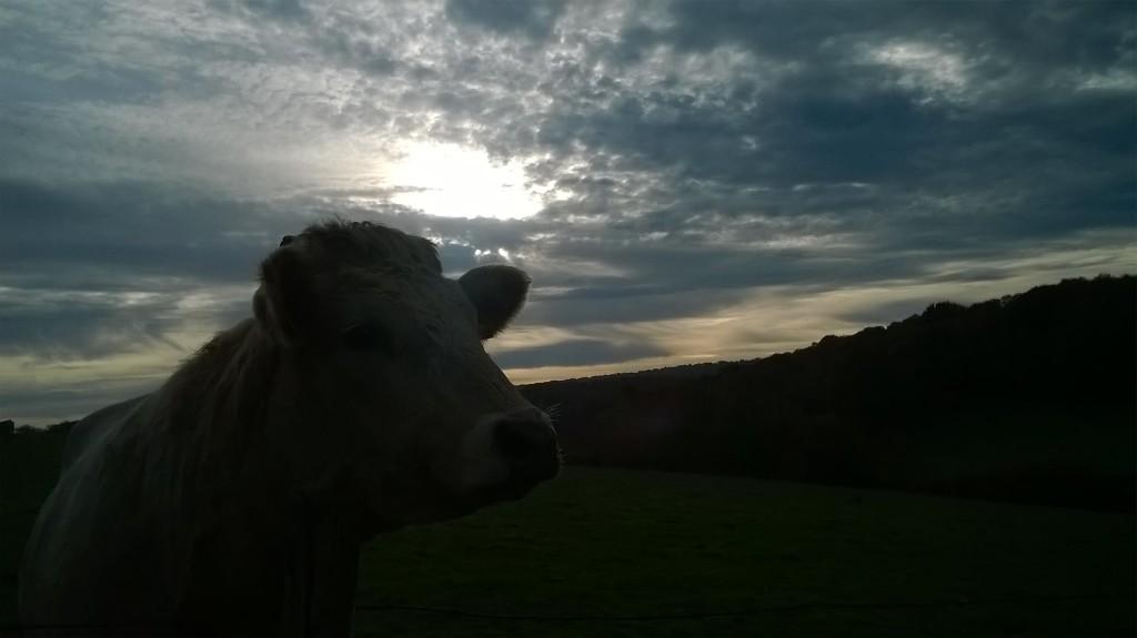 Halo Cow